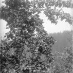 Mayor David Oppenheimer granted $50 to establish a Fruit Growers' Association – November 26, 1888